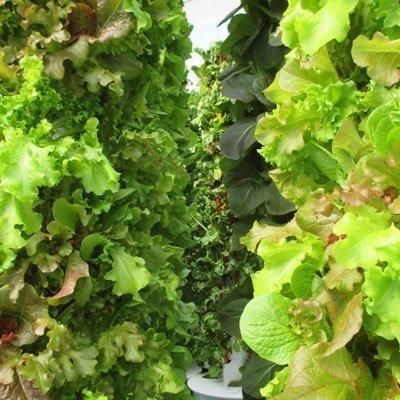 Blattgemüse und Kräuter in einer kommerziellen Tower Farm anbauen