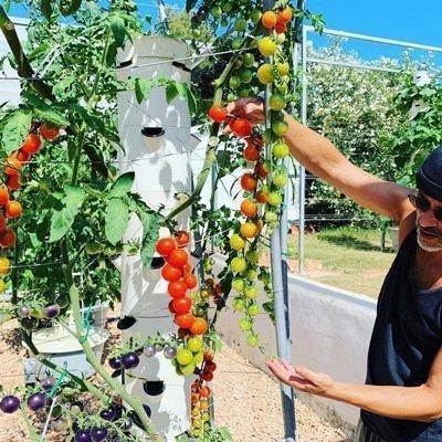 Aeroponische Tomaten auf einem Tower Garden